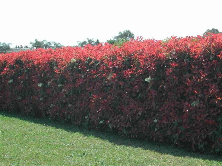 Photinia Red Robin – Photinia x fraseri