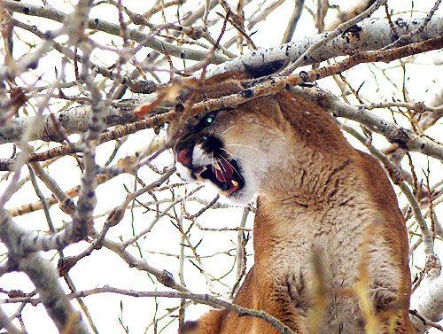 Mountain Lion Hunting Outfitters, Tips, Videos and Information. #mountainlionhunting #hunting #mountainlion http://gothunts.com/hunting/mountain-lion-hunting/