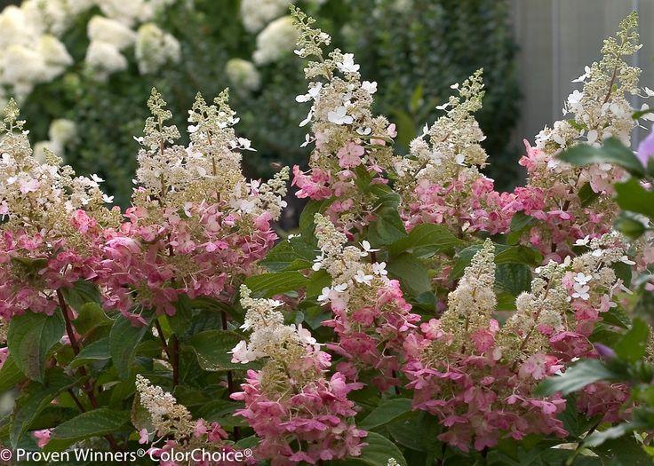 Pinky Winky® Hardy Hydrangea Hydrangea paniculata - 72-96 inches, part sun to sun