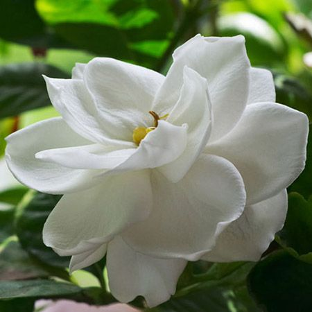 Dwarf Radicans Gardenia for Sale | Fast Growing Trees