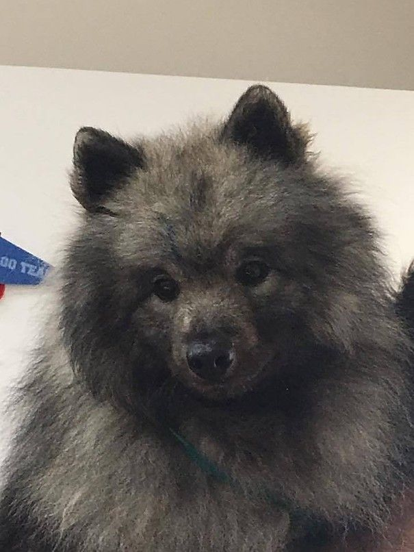 Keeshond Puppy Mill Rescue, (keeshond puppies and keeshond ...