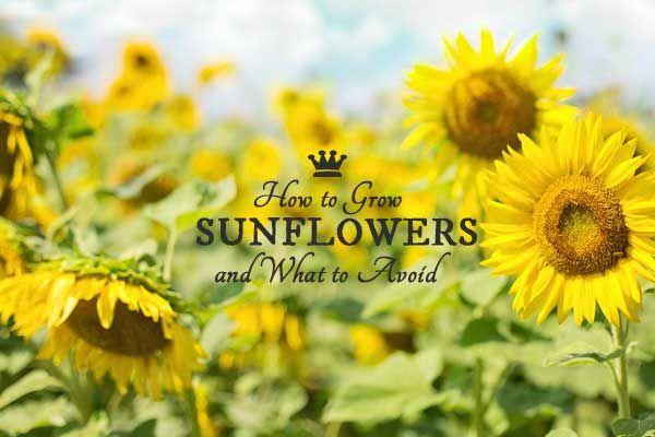 how to grow sunflowers indoors