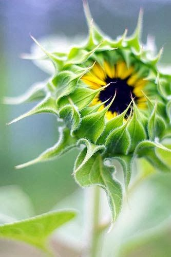 Closed Sunflower art.  How did they do that fuzzy-looking technique?!