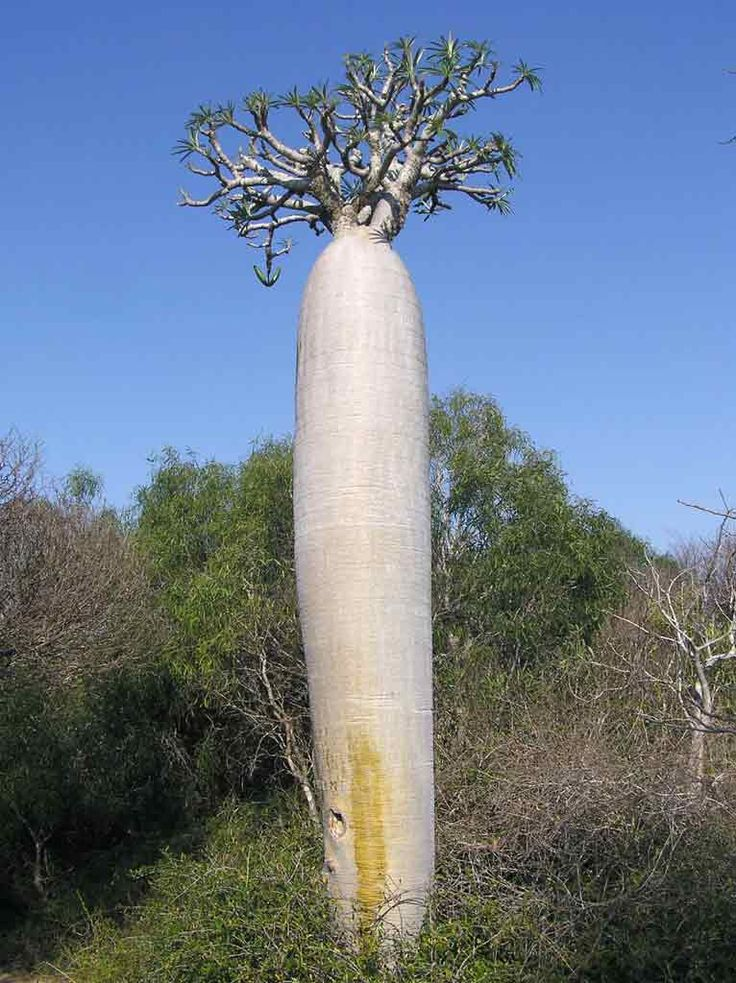 Pachypodium geayi                                                                                                                                                      Plus