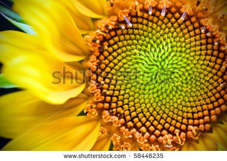 Vibrant yellow and orange macro of a sunflower - stock photo