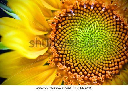Vibrant yellow and orange macro of a sunflower - stock photo