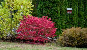 FAVORITT Vingebeinved, ca 2 m høy, grønn om sommeren, rosa om høsten, prøv sakalinbeinved