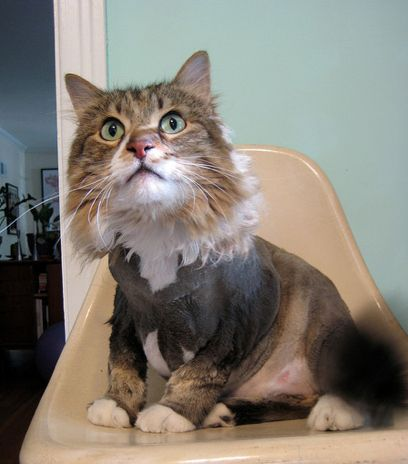 Cat haircut styles image collections haircuts for men and women cat haircut styles the best haircut 2017 20 cats with hilarious hair styles new haircuts and winobraniefo Images
