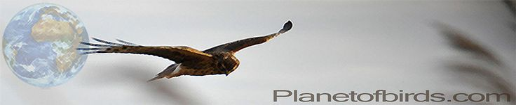 Philippine Eagle (Pithecophaga jefferyi)   Listen to the sound of the Philippine Eagle
