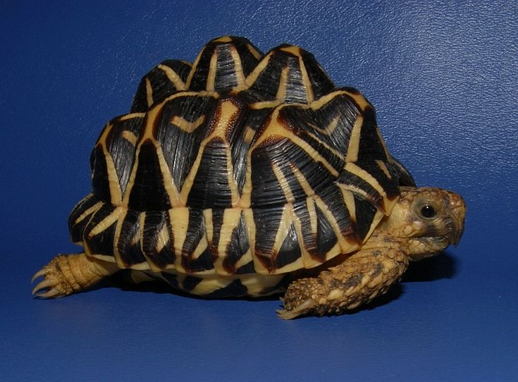 Best Tortoises Images On Pinterest Reptiles Sulcata - Injured tortoise gets set lego wheels help move