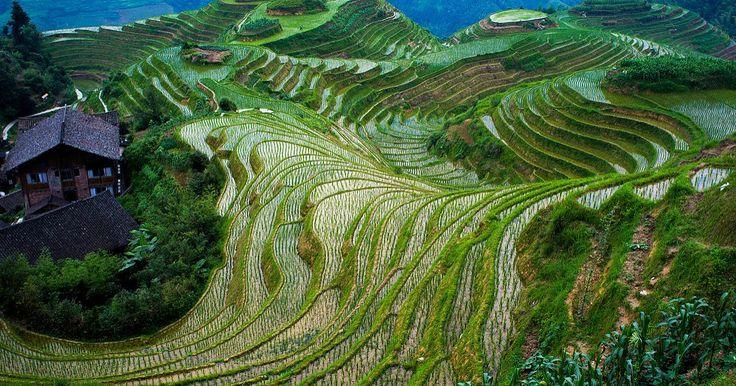 Longsheng Rice Terrace (Dragon's Backbone),  Longsheng County, Guangxi, China.