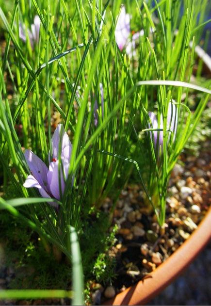 Saffron plants in flower