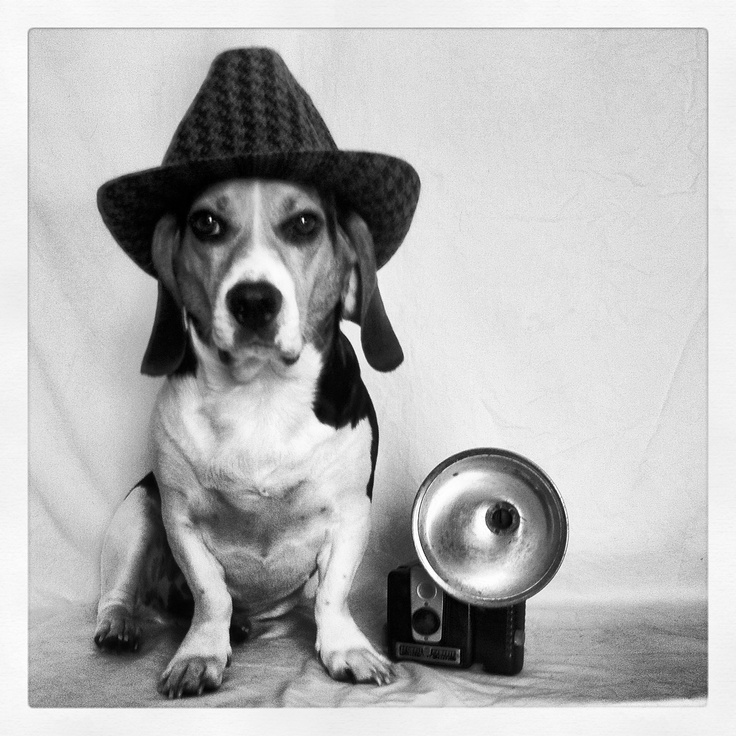 55 best The Beagle Brigade images on Pinterest | Beagle ...