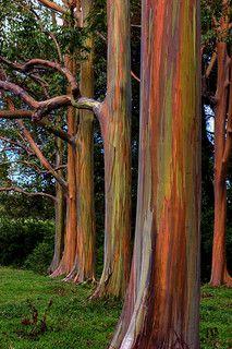 Rainbow Eucalyptus. Road to Hana. Maui