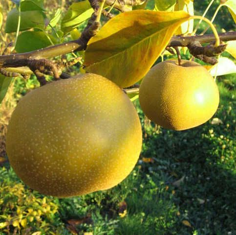 Asian Pears Have Great Demand Because Of Its Taste As Well For Nutritious Properties