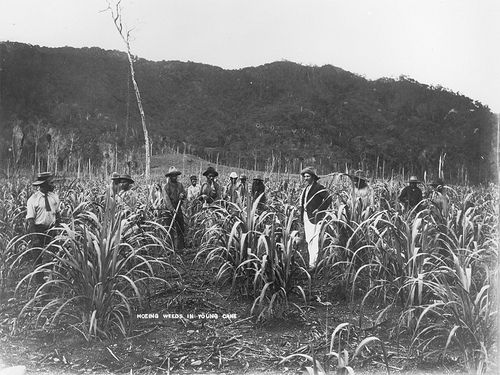 South Sea Islander workers hoeing weed on a sugar cane Plantation in Hambledon, Cairns