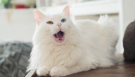 Porque seu gatinho mia? Te damos 10 razões.