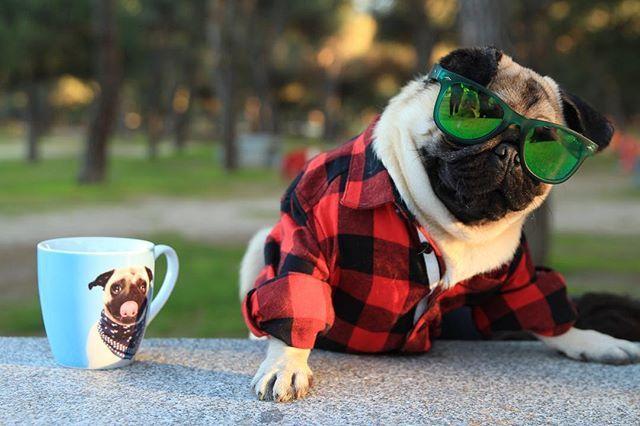Hasta los perros más grandes del parque me respetan, porque saben quién es el jefe  #MacarenoStyle #MacarenoTheBoss  #PugLife