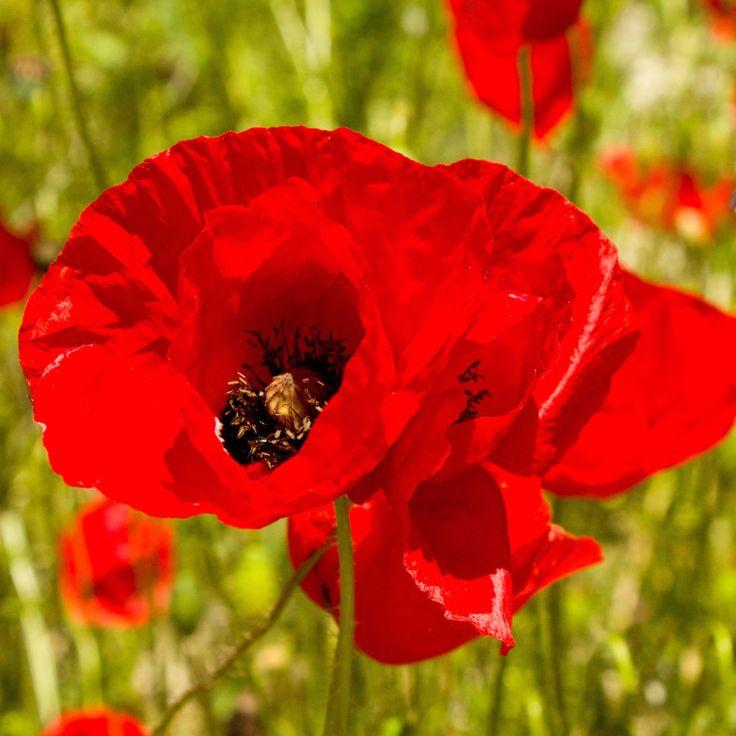 1/2 pound Pound Red Corn Poppy Flower Seeds- Papaver Rhoeas