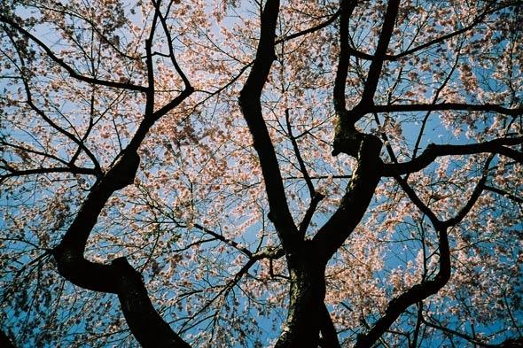 Cherry Blossom Festival - High Park
