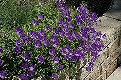 Blue Clips Bellflower (Campanula carpatica 'Blue Clips') at Millcreek Nursery Ltd Height: 8 inches Spread: 8 inches Sunlight: full sun partial shade Hardiness Zone: 2a Other Names: Carpathian Harebell, Carpathian Bellflower