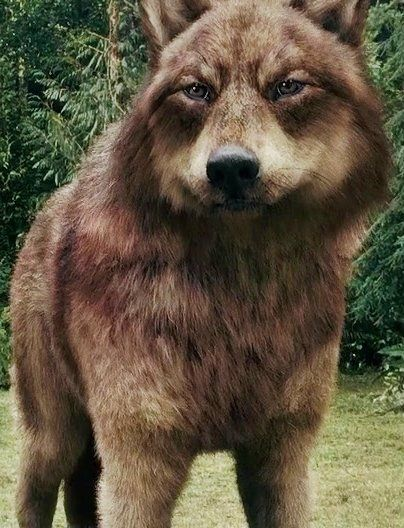 Jacob Black... My favorite wolf (BY FAR)