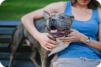 Reisterstown, MD - Staffordshire Bull Terrier Mix. Meet Skylar, a dog for adoption. http://www.adoptapet.com/pet/17007759-reisterstown-maryland-staffordshire-bull-terrier-mix