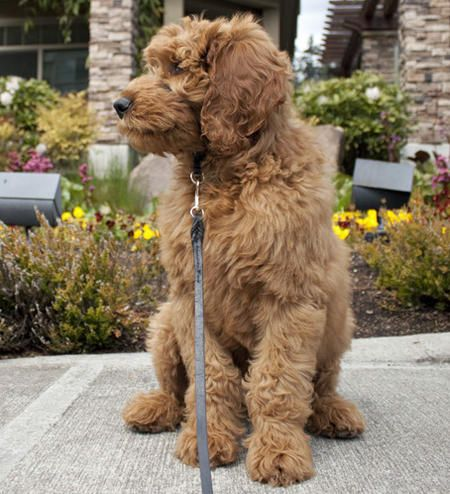 Golden Doodle....I will def have one of my own someday. I think named, Penny :)