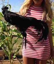 Available now is  6 Ayam Cemani Rare Chicken Hatching Eggs 6 Black Chicks Guaranteed! for