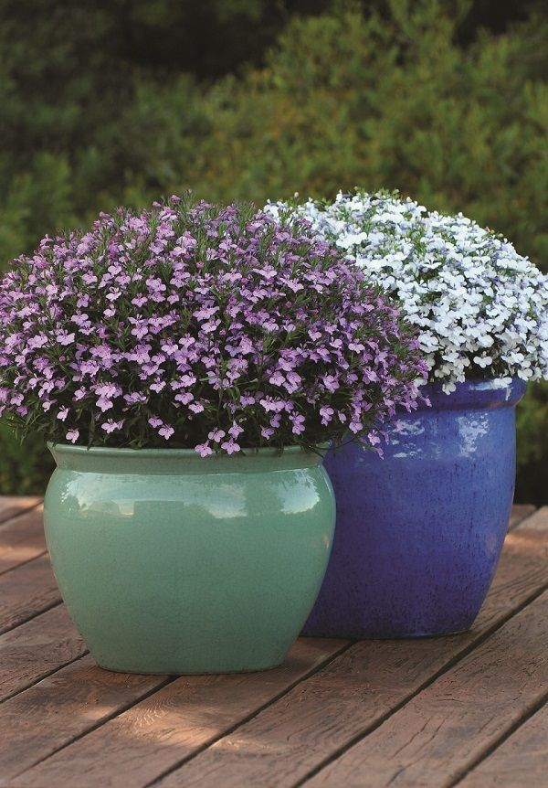 Care Guide to Growing Beautiful Lobelias. Easy to grow & many varieties to choose from. Container Gardening