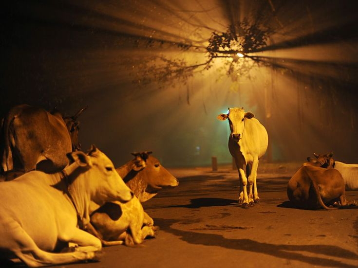 Why Is The Cow A Sacred Animal For The Hindus? http://www.corespirit.com/hinduism-spiritual-quest-divinity/ #Hinduism, #Religion, #SpiritualWellness