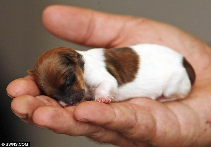 This tiny puppy weighs less than 400 grams and maybe it's the smallest dog in the world