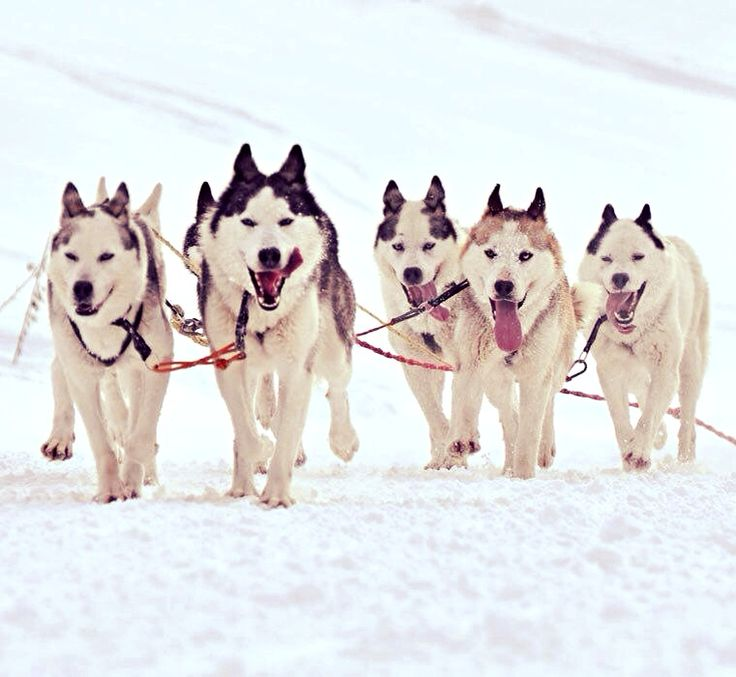 A team of our sled dogs
