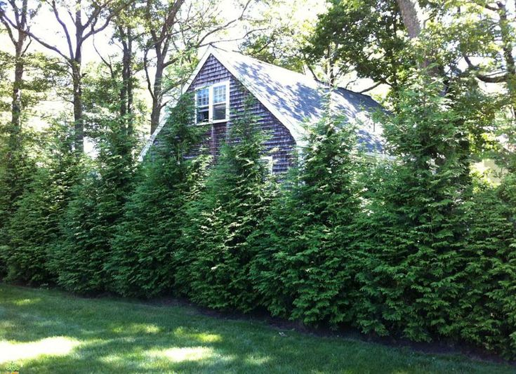 This rapid-growing evergreen will give you quick privacy when planted along a property line, fosteri... - theplantingtree.com