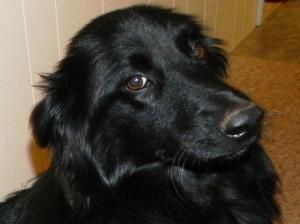 CAYENNE is an adoptable Border Collie Dog in Point Pleasant, PA. LULU'S SAYS MEET CAYENNE our 6 month old Border Collie/Flat coat retriever mix weighing 50 lbs. This girl is a super duper sweetie pie ...