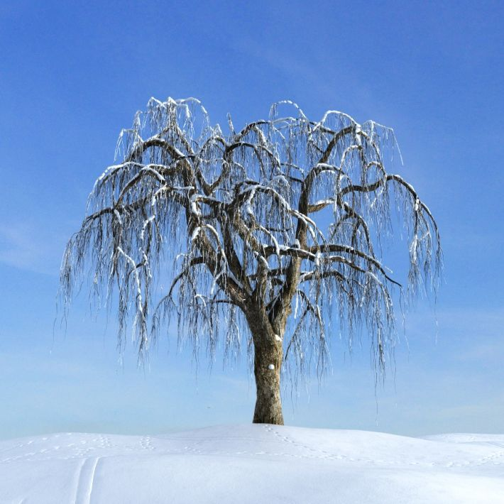 weeping willow - Google Search