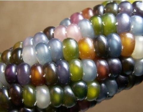 Glass gem corn from-the-garden