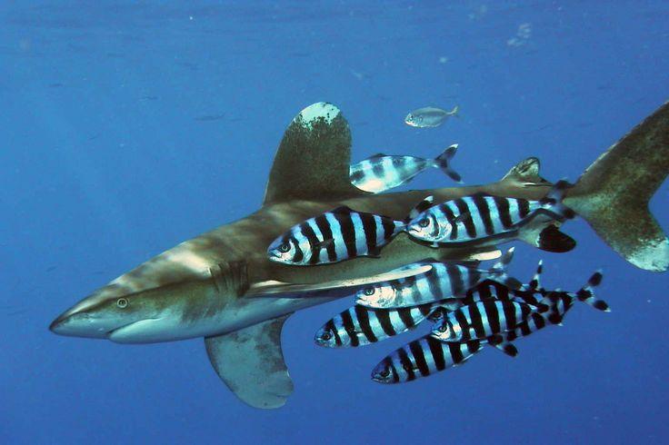 http://upload.wikimedia.org/wikipedia/commons/3/32/Carcharhinus_longimanus_1.jpg