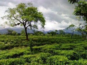 Flora, fauna, tradiční kultura a navrch výborný čaj. Není divu, že bungalow zahrady Phaskowa slouží dlouhá léta turistům jako výchozí bod pro cesty za nádherným okolím. K produkci ortodoxních čajů pak Phaskowa navíc ukazuje, že i CTC čaj může být kvalitní.