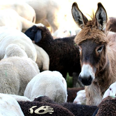 """http://www.ad360.eu/digital-strategy/    The third order is """"learn and adapt."""" In digital media lessons are rarely fatal.    #AD360eu #Digital #Strategy #Tips #Donkey #Sheep"""