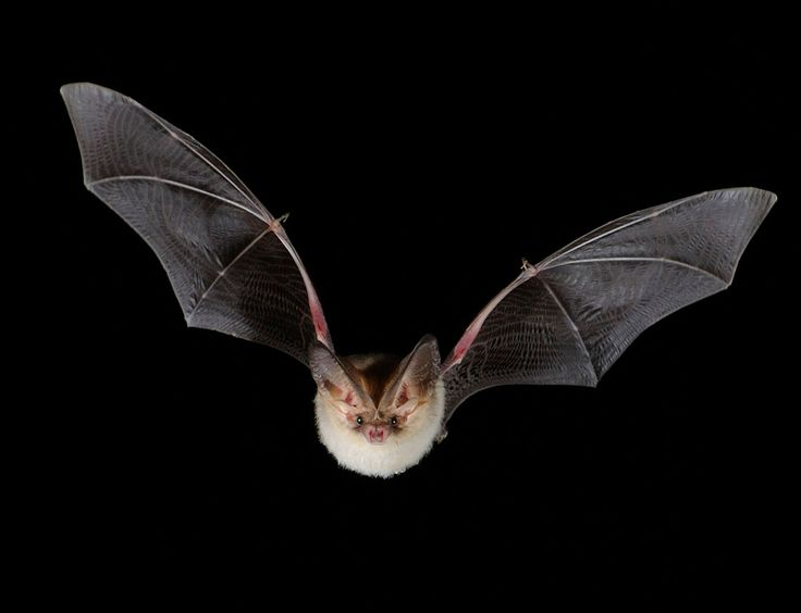 Beautiful British bat is one in just 1000 - environment - 07 August 2013 - New Scientist