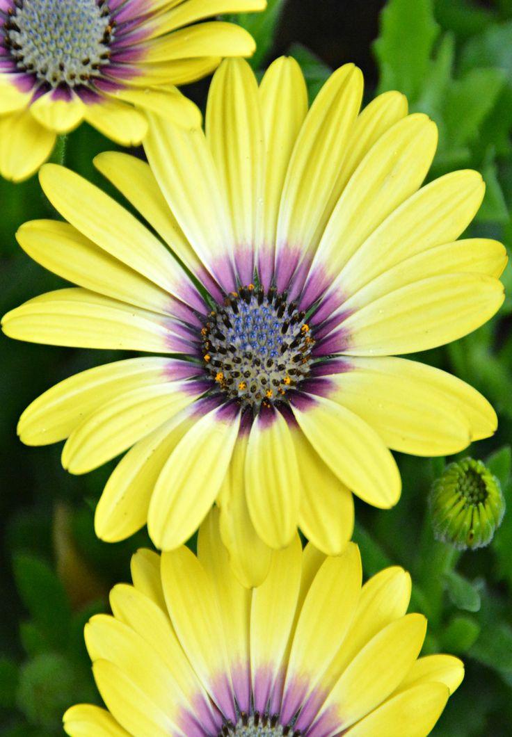 Close - Yellow Osteospermum i my garden (Wil 3350)