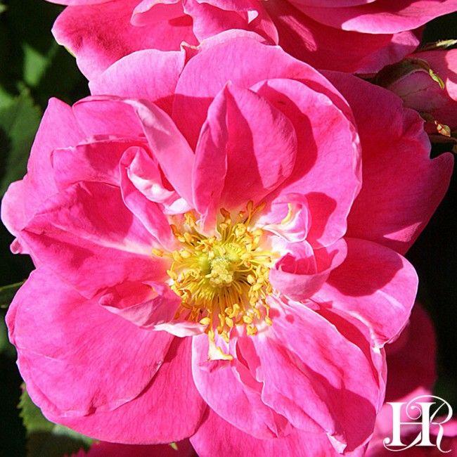 William Baffin - Heirloom Roses