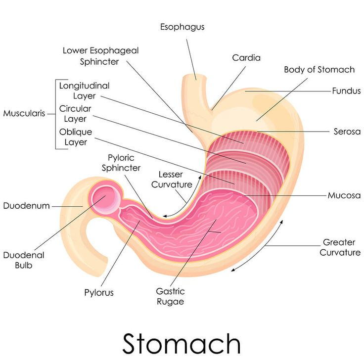 28 Best Stomach Diagrams Images On Pinterest Human Body Med