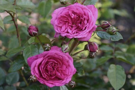 251 b sta bilderna om roses climbing p pinterest buskar. Black Bedroom Furniture Sets. Home Design Ideas