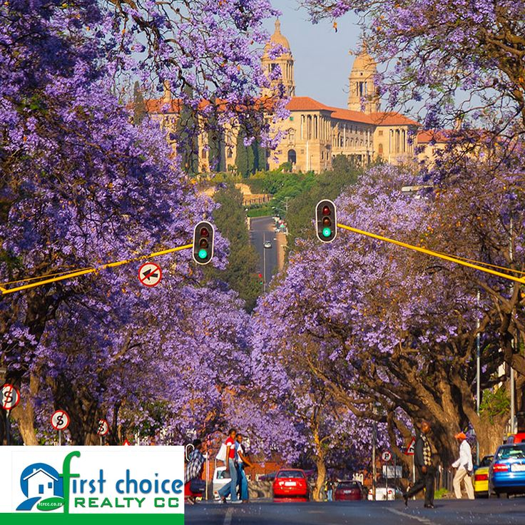 """Many of Pretoria's streets are lined with Jacaranda trees that blossom mauve (purplish blue) in spring (for 3 weeks in October) giving rise to the city's nickname """"Jacaranda City"""". The time of year the Jacarandas bloom in Pretoria coincides with the year-end exams at the University of Pretoria and legend has it that if a flower from the Jacaranda tree drops on your head, you will pass all your exams. #Facts #Pretoria #JacarandaTrees"""