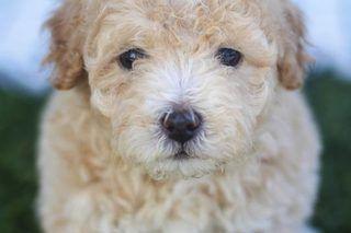 How to Groom Maltipoo Dogs | eHow