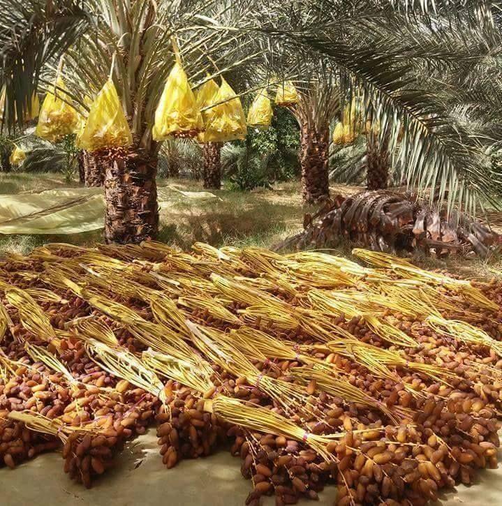 Cueillette de dattes Deglet Nour en automne dans les oasis de sud tunisien