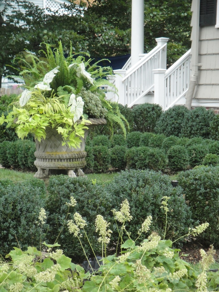 This 'Victorian Jardiniere' container from Haddonstone is the focal point of the boxwood knot garden.  Bathed in a filtered shade - ferns, caladiums, sweet potato vine and Hackonechloa thrive each summer at this Glen Ridge, NJ residence.  Cording Landscape Design, NJ #summer #containergarden #boxwood