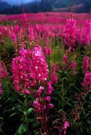 Fireweed, The Yukon's flower